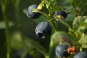 Finnish wild blueberries