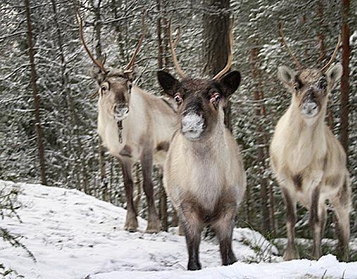 Reindeer Park in Nuuksio