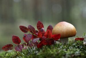 Sieniretket Nuuksiossa
