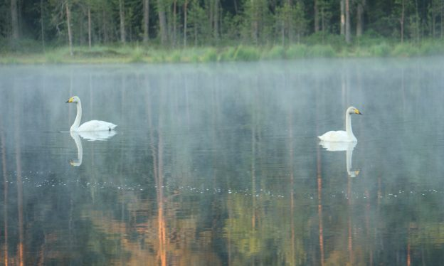 Whooper swans in Nuuksio National Park