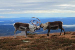 Rendeers in Pallas-Ylllästunturi National Park, foto: Hannu Rauhala