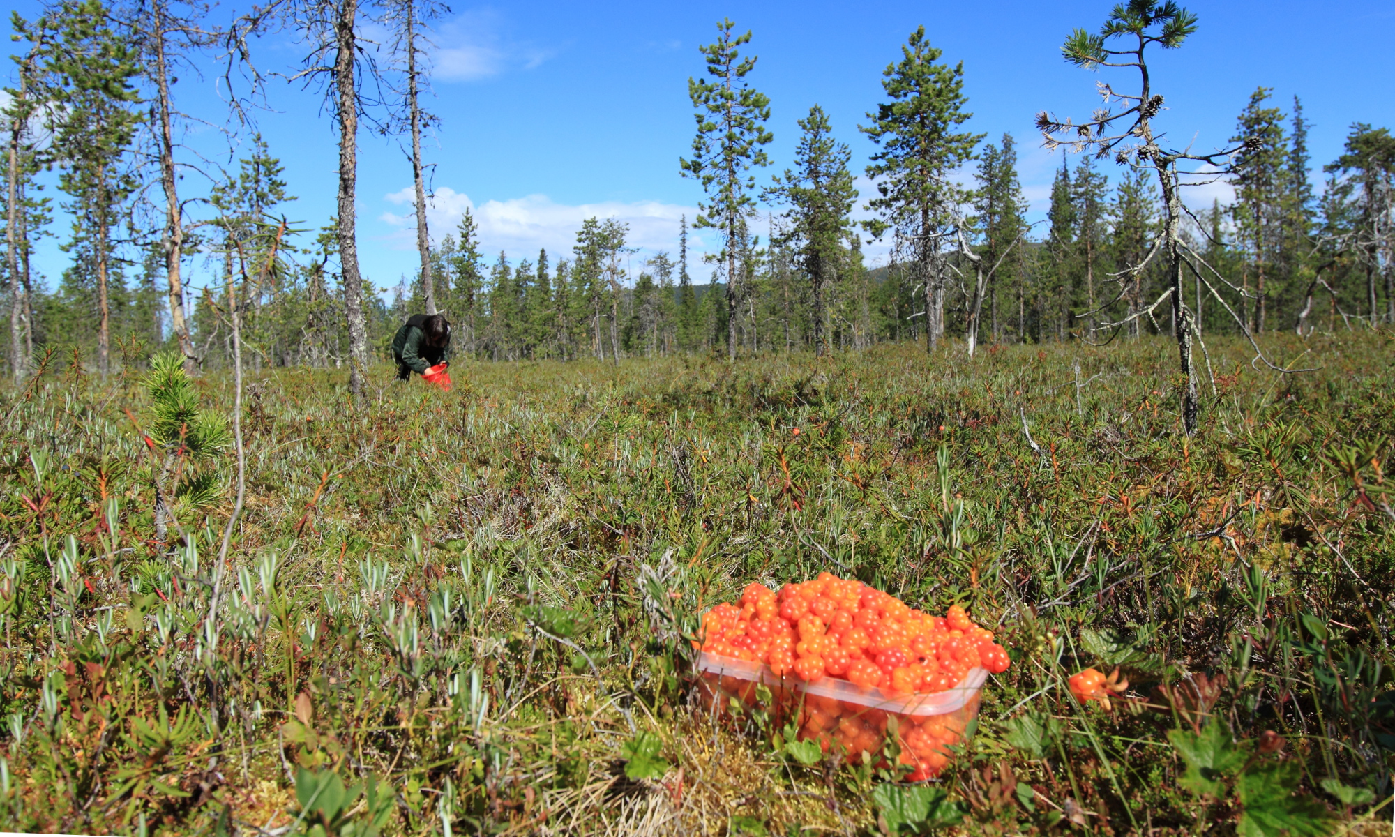 Berry picking in Lapland