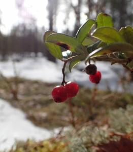 Last autumn berries in winter